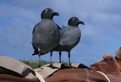 A pair of rare Lava Gulls perches on the mast of our ship.
