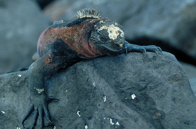 A Marine Iguana warms itself by sunbathing under the hot equatorial sun.