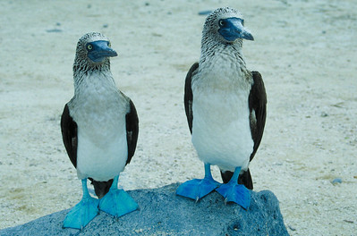 A pair of Blue Footed Boobies on Hood Island in the Galapagos.