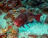 Bicolor Parrotfish 3