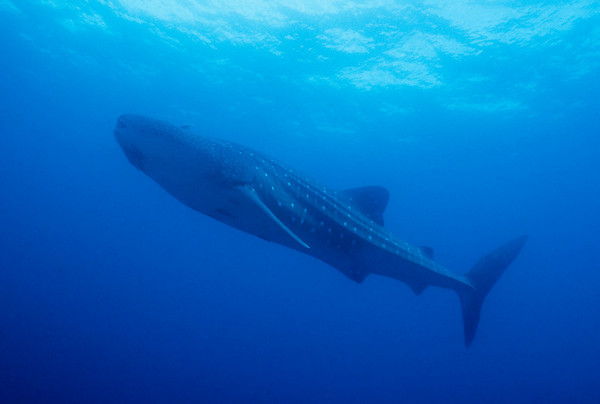 A Whale Shark cruises by Roca Ballena in the Galapagos Islands.