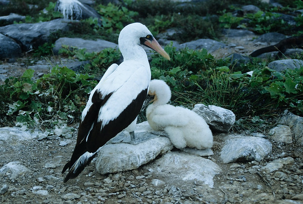 A Masked Booby protects her chick on Hood Island in the Galapagos.