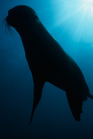 A curious Sea Lion glides by effortlessly at North Seymour Island, Galapagos.