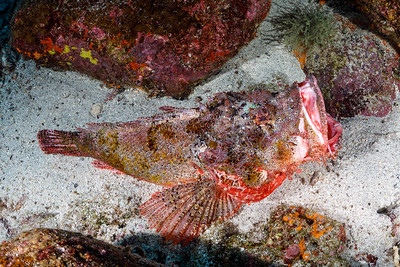 Stone Scorpionfish  (with mouth open) [Shark Bay, Wolf Island]