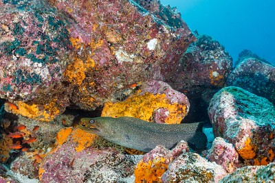 Fine Spotted Moray, Blacktip Cardinalfish [Mosquera Islet]