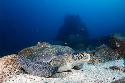 Green Sea Turtle [Wolf Island]