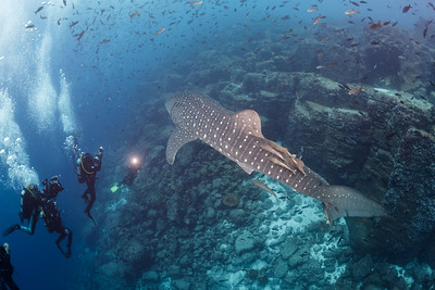 Whale Shark and group [Darwin's Arch]