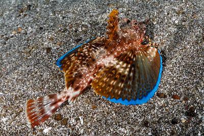 Galapagos Searobin!! [Punta V. Roca]