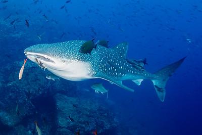 Whale Shark, Black Jacks, Almaco Jacks, Remoras, Pacific Creolefish [Darwin's Arch]