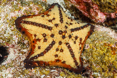 Chocolate Chip Sea Star (Nidorellia armata) [Wolf Island]