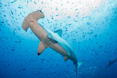 Scalloped Hammerhead(s), Pacific Creolefish [Darwin's Arch]