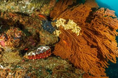 Magnificent Scallop (Nodipecten magnificus), Blacktip Cardinalfish, Gorgonians, White Tube Sponges [Punta V. Roca]