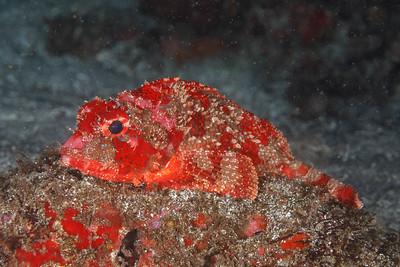 Player? Scorpionfish [Punta V. Roca, at night]