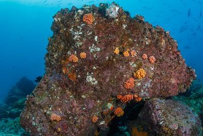 Orange Cup Corals [Mosquera Islet]