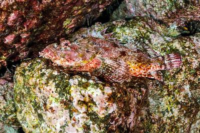 Stone Scorpionfish [Mosquera Islet]