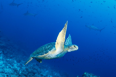 Green Sea Turtle, Scalloped Hammerheads [Darwin's Arch]