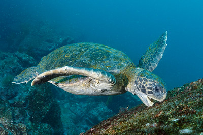 Green Sea Turtle [Punta V. Roca]