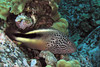 Stocky Hawkfish