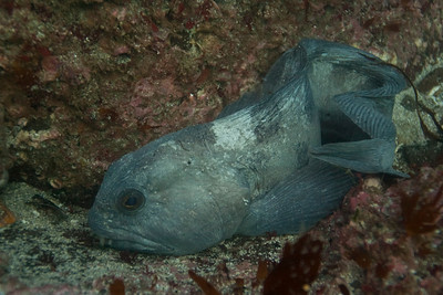 Wolf Eel (or Atlantic Wolffish)
