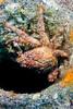 Redhair Swimming Crab