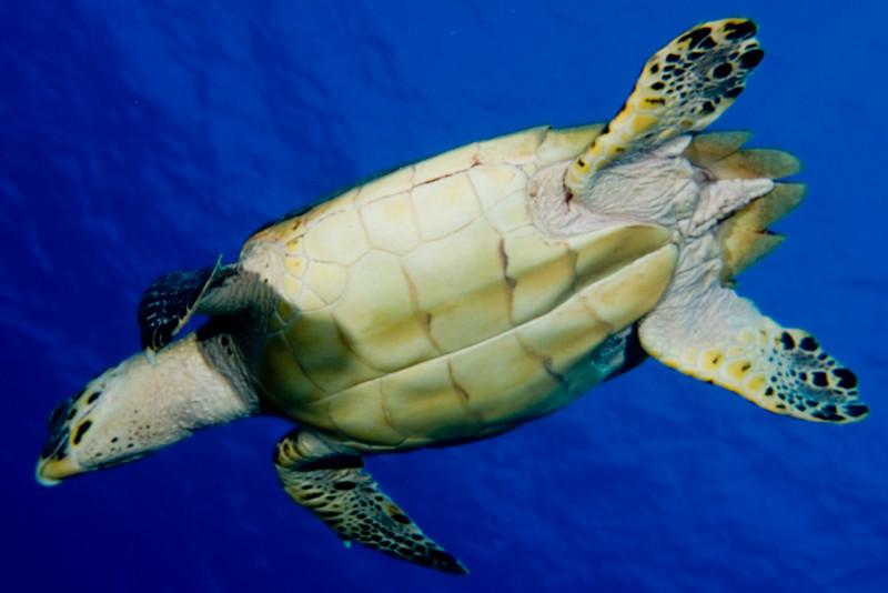 Hawksbill Turtle (underside)