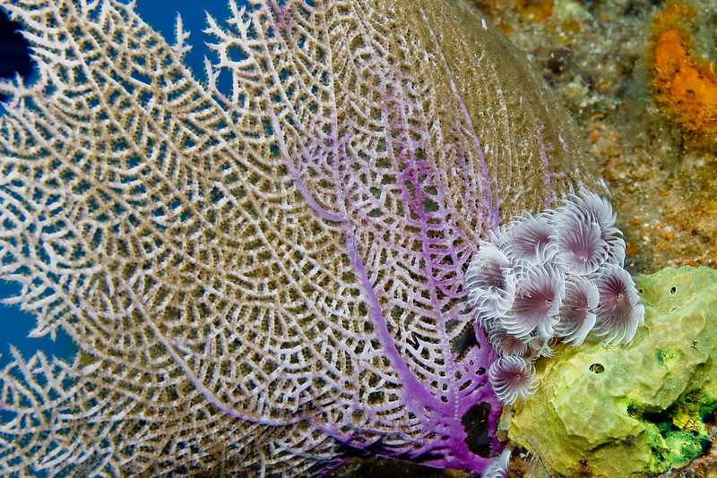 Social Feather Duster with Common Sea Fan