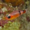 Belted Cardinalfish