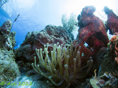 Sea Anemone  (Condylactis gigantea)