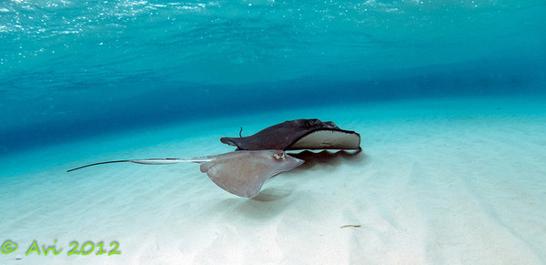 Male and Female Stingrays