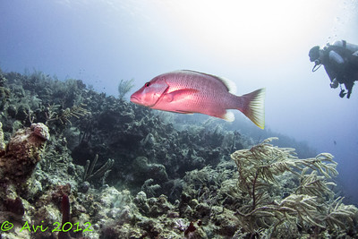 Mutton Snapper @ Little Tunnels