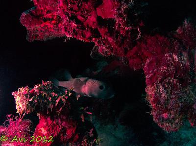 Porcupine Fish  (Diodon hystrix)