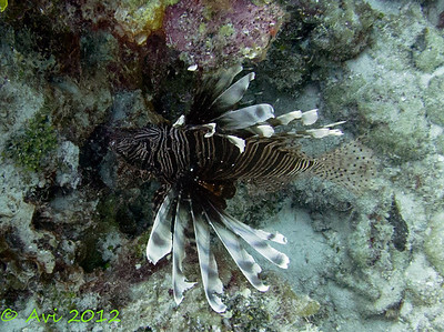 Lion Fish Invasive species