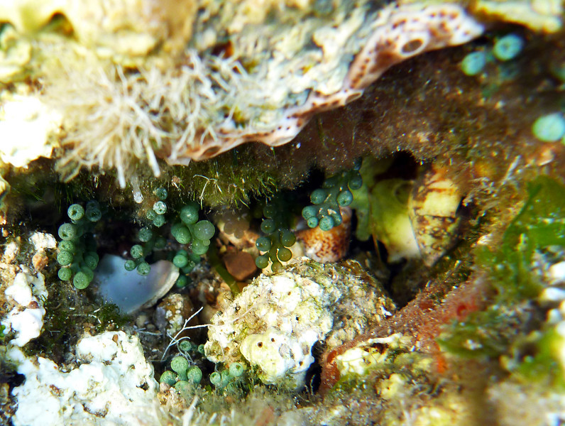 Caulerpa racemosa, sea grape, Kugel-Caulerpa, an invasive species<br /> south of Memi beach, Koroni, Peloponnese, Greece<br /> <br /> Panasonic DMC-FT2