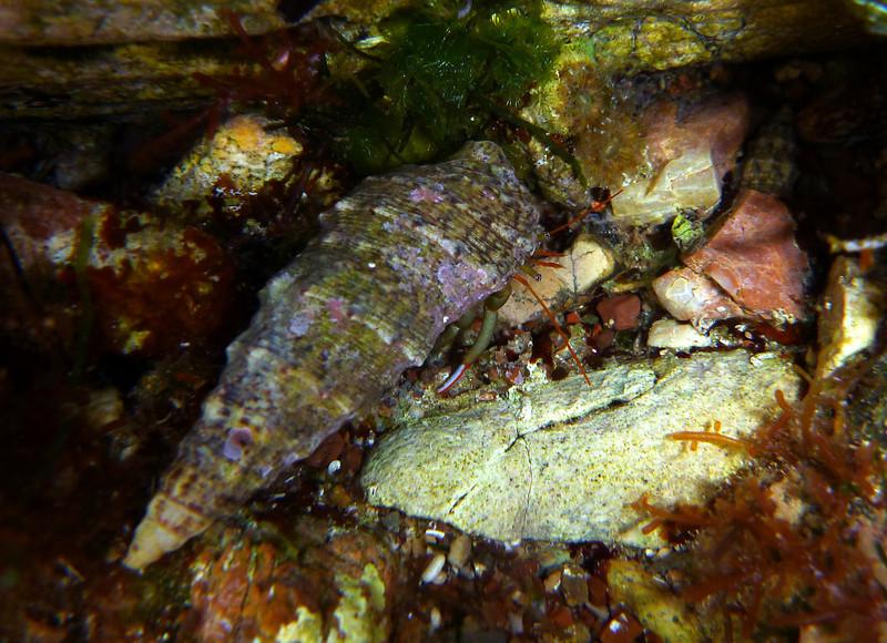 Clibanarius erythropus, hermit crab<br /> south of Memi beach, Koroni, Peloponnese, Greece<br /> <br /> Panasonic DMC-FT3