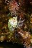 Pagurus anachoretus, hermit crab, gestreifter Felseneinsiedler, aberrant coloration (?)<br /> south of Memi beach, Koroni, Peloponnese, Greece<br /> <br /> Panasonic DMC-FT3