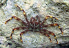 Percnon gibbesi, nimble spray crab or urchin crab, an invasive species, very common near Kalamaki beach<br /> <br /> Panasonic DMC-FT2