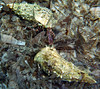 fighting / mating Pagurus anachoretus, hermit crab, gestreifter Felseneinsiedler<br /> south of Memi beach, Koroni, Peloponnese, Greece<br /> <br /> Panasonic DMC-FT2