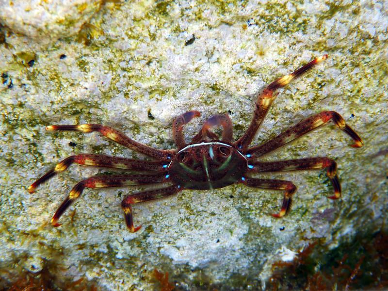 Percnon gibbesi, nimble spray crab or urchin crab, an invasive species, very common near Kalamaki beach<br /> <br /> Panasonic DMC-FT2