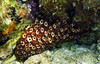 Holothuria forskali, black sea-cucumber, variable Seegurke<br /> <br /> Panasonic DMC-FT2