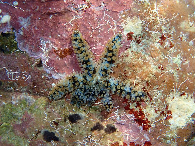 Coscinasterias tenuispina, blue spiny starfish, south of Memi beach, Koroni, Messinias, Greece<br /> <br /> Olympus TG-1