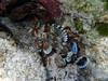 Scorpaena sp, a scorpionfish, Lefki beach, Elafonisos, Peloponnese, Greece<br /> <br /> Olympus TG-1