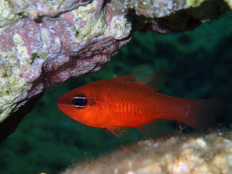 Apogon imberbis, a cardinalfish, Meerbarbenkönig<br /> near Memi beach, Koroni, Peloponnese, Greece<br /> <br /> Olympus TG-1
