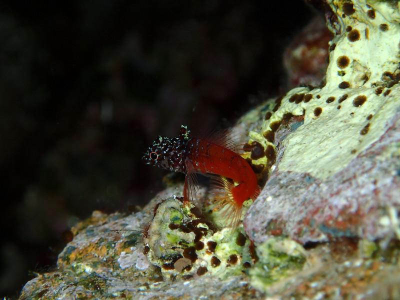 Tripterygion tripteronotus, red-black triplefin, roter spitzkopf-schleimfisch, south of Memi beach, Koroni, Messinia, Greece<br /> <br /> Olympus TG-1