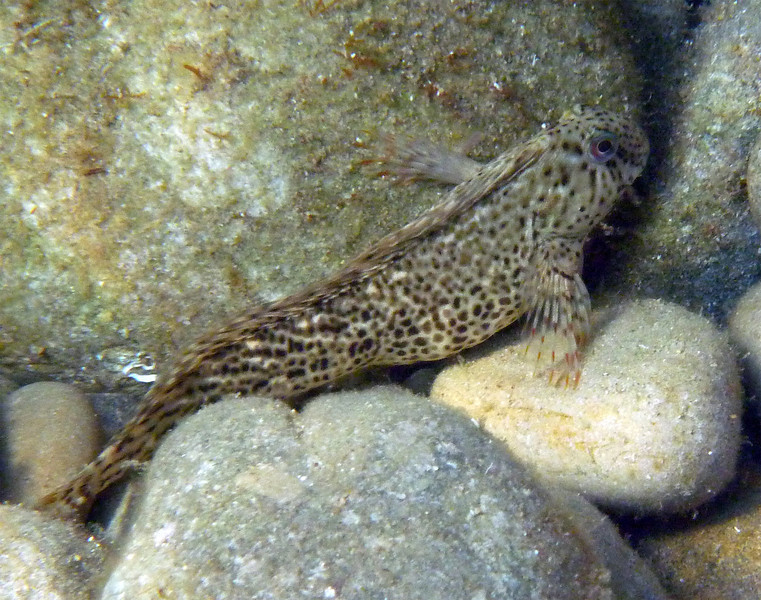 Parablennius sanguinolentus, rusty blenny, Blutstriemen-Schleimfisch<br /> near Kalamaki beach, Koroni, Peloponnese, Greece<br /> <br /> Panasonic DMC-FT2