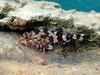 Scorpaena sp, a scorpionfish, Elafonisos village beach, Peloponnese, Greece<br /> <br /> Olympus TG-1