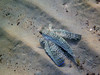 Dactylopterus volitans, flying gurnard<br /> Memi beach, Koroni, Greece (also seen at Kalamaki beach)<br /> <br /> Panasonic DMC-FT2