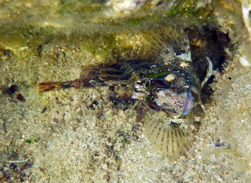 Parablennius gattorugine, tompot blenny, gestreifter Schleimfisch, same specimen as before<br /> near Memi beach, Koroni, Peloponnese, Greece<br /> <br /> Panasonic DMC-FT2