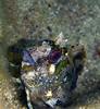 Parablennius gattorugine, tompot blenny, gestreifter Schleimfisch<br /> near Memi beach, Koroni, Peloponnese, Greece<br /> <br /> Panasonic DMC-FT2