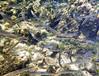 Sphyraena chrysotaenia, yellowstripe barracuda, a Lessepsian migrant<br /> near Memi beach, Koroni, Peloponnese, Greece<br /> <br /> Panasonic DMC-FT3