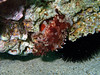 Scorpaena sp, a scorpionfish, Pounta beach opposite Elafonisos, Peloponnese, Greece<br /> <br /> Olympus TG-1